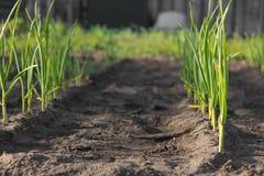 Зеленое vegetablesisolated onions Стоковое Фото