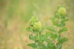 Зеленое viridiflora Asclepias Milkweed кометы Стоковые Фотографии RF
