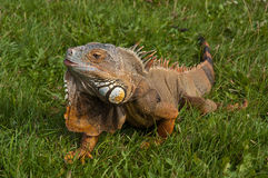 зеленой ящерица изолированная игуаной Стоковая Фотография RF