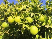 Зеленые апельсины на дереве стоковая фотография rf