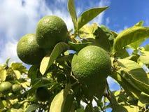 Зеленые апельсины на дереве стоковое изображение rf