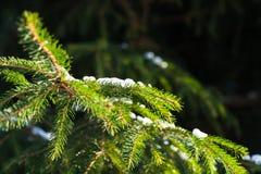 Зеленые ветви дерева покрытого снегом елевого Стоковая Фотография