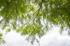 Зеленые ветви и листва облыселых кипариса & x28; Distichum& x29 Taxodium; Стоковое Изображение RF