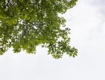 Зеленые ветви дуба Стоковое Фото