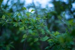 Зеленые ветви Стоковая Фотография RF