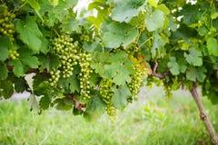 Зеленые виноградины на лозе, растя в Провансали, Франция Стоковые Изображения
