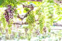 Зеленые виноградины Стоковое Изображение