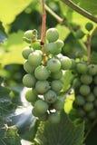 Зеленые виноградины стоковые изображения