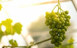 Зеленые виноградины стоковые фото