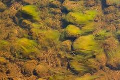 Зеленые водоросли в потоке стоковые изображения