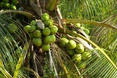 Зеленые гайки кокосов растя на ладони Стоковые Фото