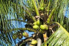 Зеленые гайки кокосов растя на ладони Стоковые Изображения
