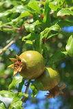 Зеленые гранатовые деревья Стоковое фото RF