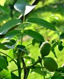 Зеленые грецкие орехи в дереве Напечатайте Fernor Стоковое Фото