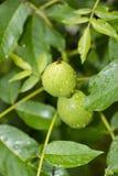 Зеленые грецкие орехи зрея стоковые фотографии rf