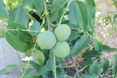 Зеленые грецкие орехи на вале Стоковые Фото