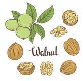 Зеленые грецкие орехи с листьями и высушенные грецкие орехи изолированные на белой предпосылке иллюстрация штока