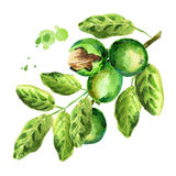 зеленые грецкие орехи brampton акварель бесплатная иллюстрация