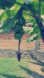 Зеленые группы банана Стоковое Изображение RF