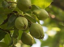 Зеленые груши и листья на дереве Стоковые Изображения RF