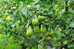 Зеленые груши на ветви дерева в саде Стоковое фото RF