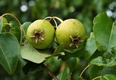 Зеленые груши на дереве Стоковое фото RF