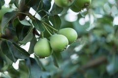 Зеленые груши на зеленой предпосылке Стоковое фото RF