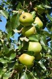 Зеленые груши растя на дереве Стоковые Фото