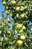 Зеленые груши растя на дереве Стоковое Изображение