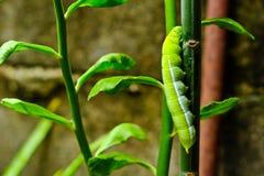 Зеленые гусеницы Стоковые Изображения
