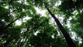 Зеленые густолиственные деревья в лесе смотря до небо акции видеоматериалы