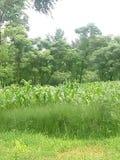 Зеленые деревья и заводы маиса Стоковые Фото