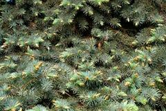 Зеленые елевые ветви Стоковое фото RF