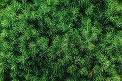 Зеленые елевые ветви Стоковые Фото