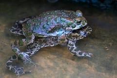 Зеленые жабы Стоковая Фотография