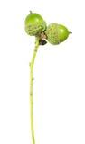 Зеленые жолуди изолированные на белой предпосылке Стоковые Фото