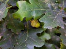Зеленые жолуди на ветвях дуба Стоковые Изображения