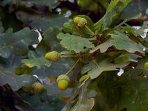 Зеленые жолуди на ветвях дуба Стоковое Фото
