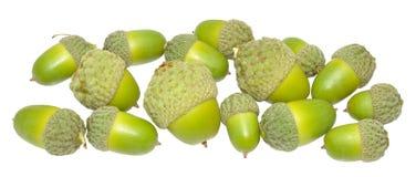 Зеленые жолуди дуба Стоковое Изображение RF