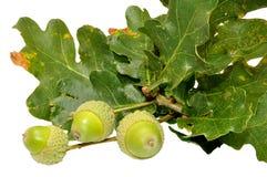 Зеленые жолуди дуба стоковая фотография rf