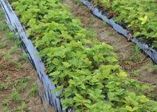 Зеленые заводы клубники зрея в культивируемом поле стоковое фото