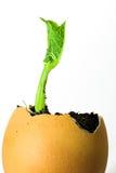 Зеленые заводы ростка, который выросли от яичка Стоковое Изображение