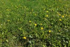 Зеленые заводы цветка желтого цвета grash Стоковые Изображения RF