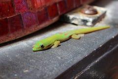 Зеленые золотые гекконовые дня пыли грея на солнце Стоковая Фотография RF