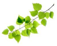 Зеленые изолированные листья березы Стоковое фото RF
