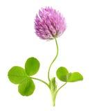 Зеленые изолированные лист и цветок клевера Стоковые Фотографии RF