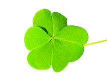 Зеленые изолированные лист клевера Стоковое Фото