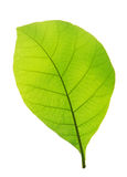 Зеленые изолированные лист teak Стоковые Фотографии RF