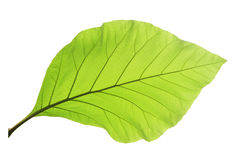 Зеленые изолированные лист teak Стоковое Изображение