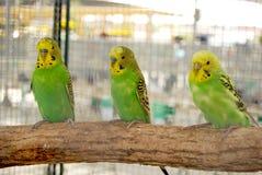 Зеленые длиннохвостые попугаи в клетке Стоковые Фотографии RF